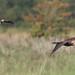 Follow that Marsh Harrier