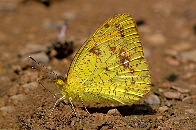Ixias pyrene - the Yellow Orange Tip (male)