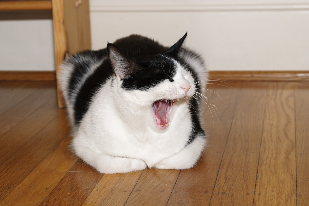 Our black-and-white cat Scout yawns while resting on the hardwood floor