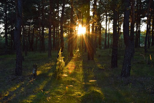 summer mood sun sunlit sunlight forest woods nature natural sunbeams sunrays tree trees plants olsztyn częstochowa polska poland sunset