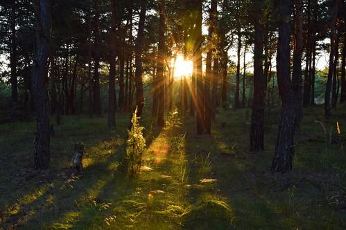 summer mood sun sunlit sunlight forest woods nature natural sunbeams sunrays tree trees plants olsztyn częstochowa polska poland sunset