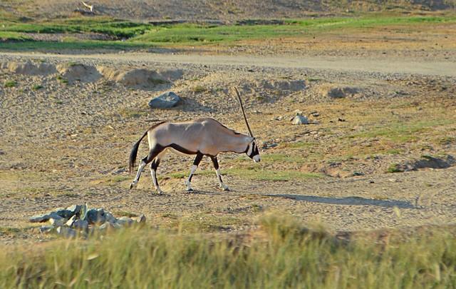 scimitar oryx - san diego safari park crystal neri
