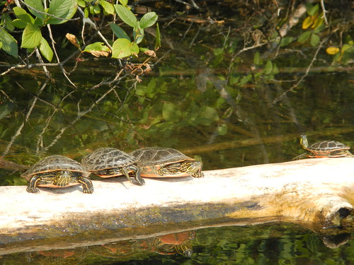Champion Lake Four turtels on a log