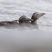 Two young eiders