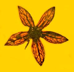 Tropidogyne pentaptera
