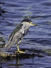 Black-crowned Night Heron AX5I7328
