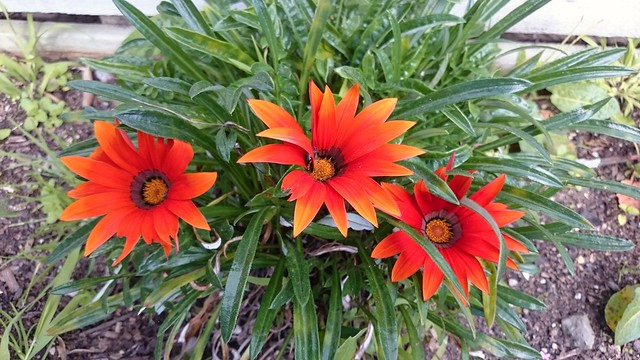 Three Gazania 8212