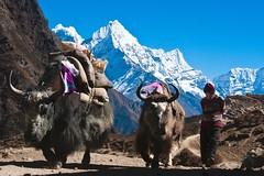 Nepal, Komfort-Trekking Everest-Gebiet. Yaks dienen beim Trekking als Tragtiere. Foto: Archiv Härter.