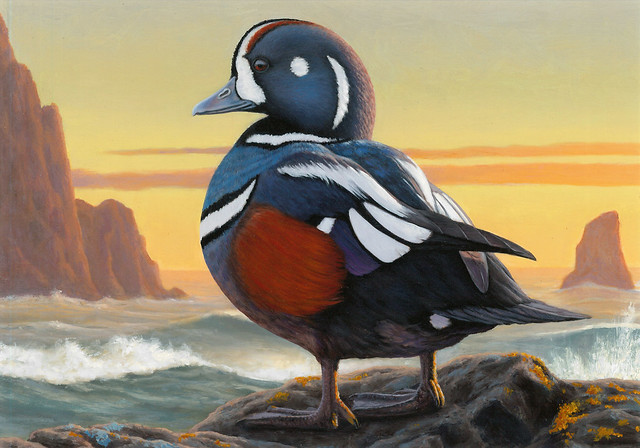 Entry #122 is a painting of a harlequin duck, one of the 5 eligible species for the 2017 Federal Duck Stamp Art Contest. Credit USFWS.
