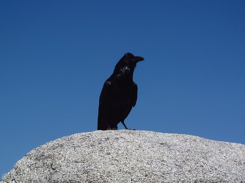 A raven takes its leisure on a rock atop North Dome in Yosemite National Park, California