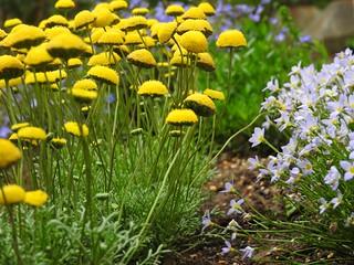 こびとの散歩道16 花ほたるヒナソウ