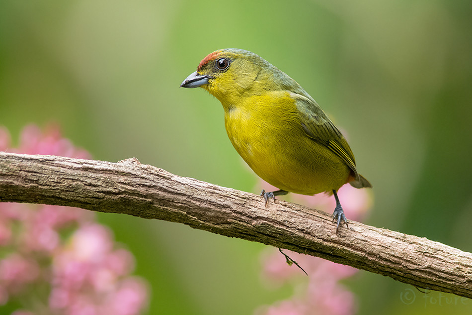 Oliiv, marjavint, Euphonia, gouldi, Olive, backed, Sarapiqui, valley, Costa Rica, Kaido Rummel, nature, photos, bird, tropical