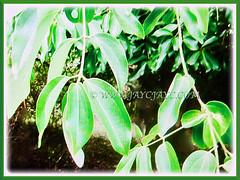 Petiolate dark green adult leaves of Cinnamomum verum (Cinnamon, True Cinnamon, Ceylon/Cassia Cinnamon, Cinnamon Bark Tree, Kayu Manis in Malay) are arranged opposite along the stems, 17 Aug 2017