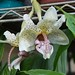 Stanhopea saccata x insignis x Stanhopea nigroviolacea x grandiflora