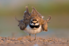 TWIST : Little ringed plover