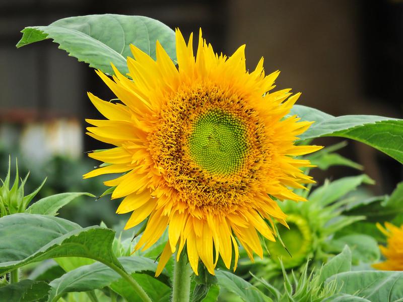 Decorative sunflower