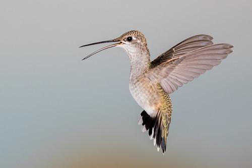 Black-chinned Hummingbird (F)