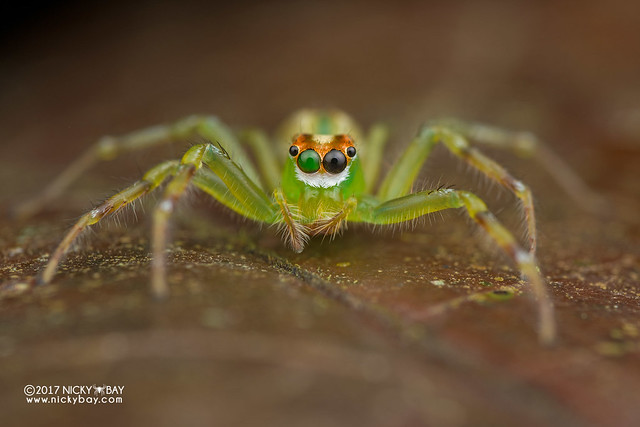 Jumping spider (Epeus sp.) - DSC_7889