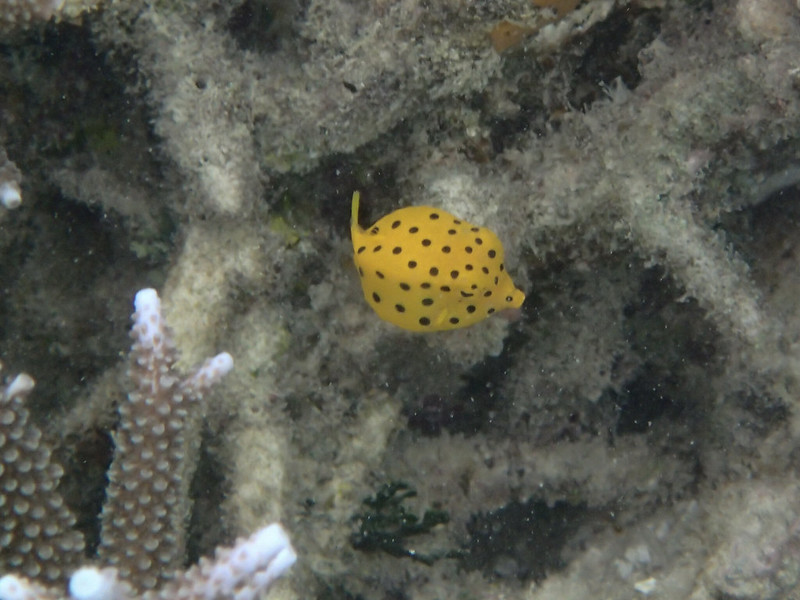 Yellow boxfish_juvenile_P8050024+