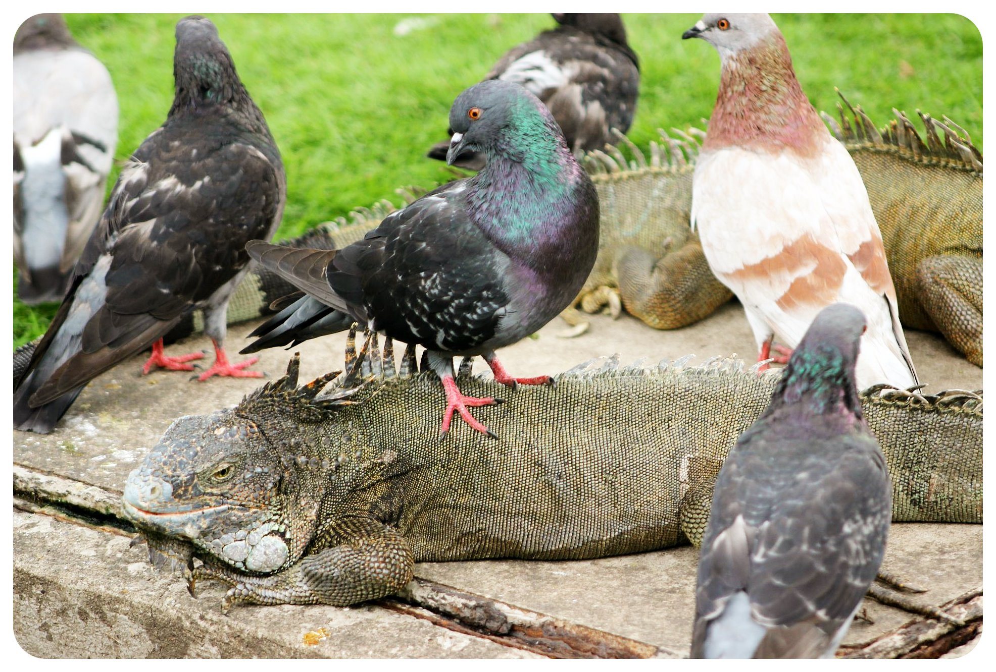 guayaquil iguana & pidgeons