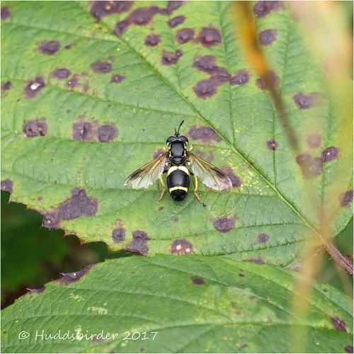 Chrysotoxum bicinctum Hoverfly