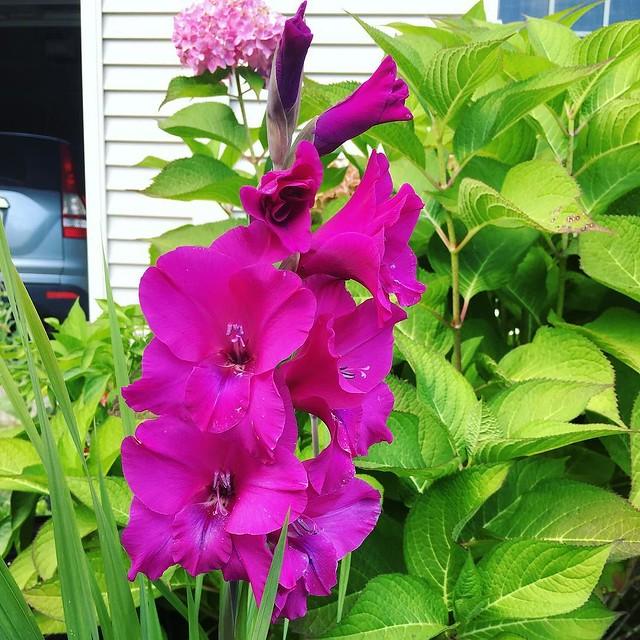 #gladiolus