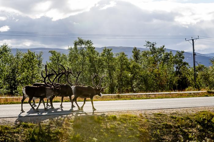 motoristit koulukiusaamista vastaan mkkv lappi lapland tour 2017 tunturi-lappi kilpisjärvi poro tiellä porolauma porotokka (1 of 1)