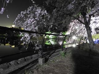 千葉公園綿打池 夜桜ライトアップ15