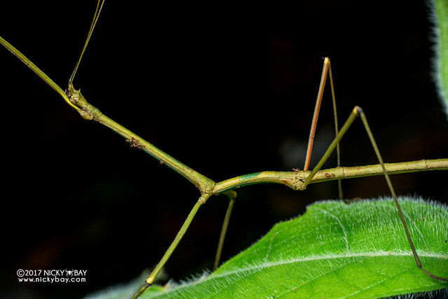 Stick insect with mites (Phasmatodea) - DSC_8939
