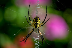 the gilded silver-face spider
