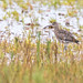 Eurasian Curlew  -  Brachvogel
