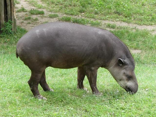 Tapier, Zoo Prag