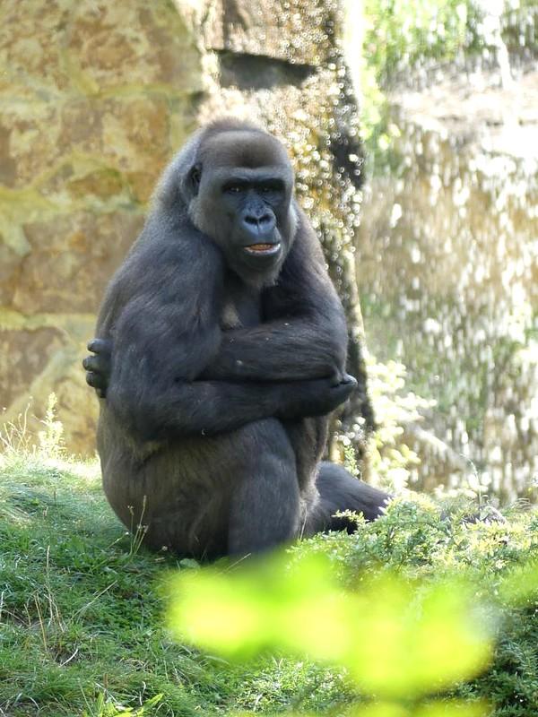Gorilla, Zoo Berlin