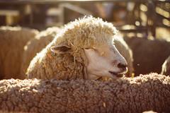 Golden Sheep, Washington State Fair