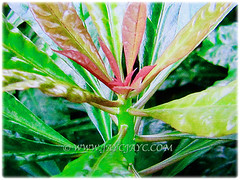 Mesmerising young pinkish leaves of Pereskia sacharosa (Needle Seven Blade, Seven Star Needle, Rose Cactus, Tree Cancer, Jarum Tujuh Bilah in Malay), 11 Sept 2017
