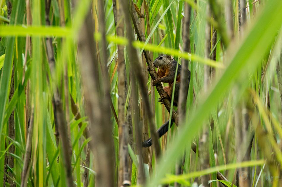 Mitmevärviline, orav, Sciurus, variegatoides, Variegated, squirrel, Volcano, Arenal, National, Park, Costa Rica, Kaido Rummel