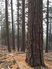 Ponderosa Pine Restoration