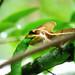 Basilisk week -Basiliscus vittatus