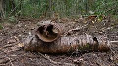 Hollow limbs of Hoop Pine