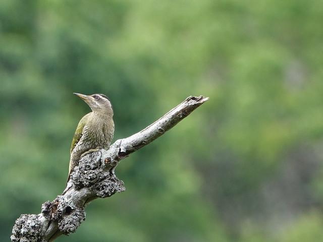 Streak Throated Woodpecker