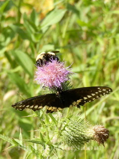 swallowtail and bumble
