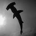 Small photo of Scalloped Hammerhead Shark (Sphyrna lewini)