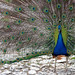 Colourful Peacock at St. Naum Monastry