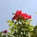 Red Roses and Bee