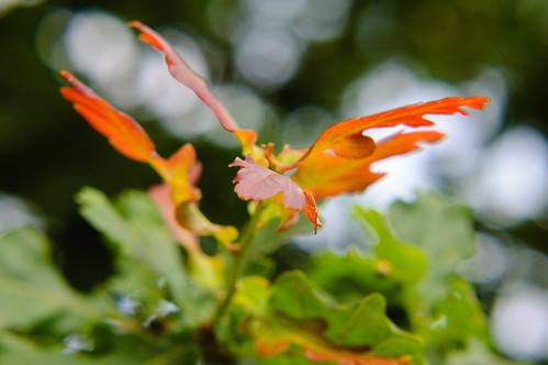 Red: young oak leaves