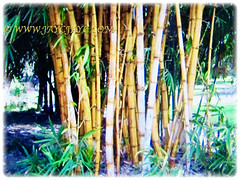 BBamboo culms of Bambusa multiplex (Clumping Bamboo, Hedge Bamboo, Chinese Dwarf Bamboo, Buluh Pagar in Malay) in varying sizes, 25 Aug 2017