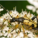 Black And Yellow Longhorn Beetle.