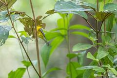 Vermivora cyanoptera / Reinita Aliazul / Blue-winged Warbler