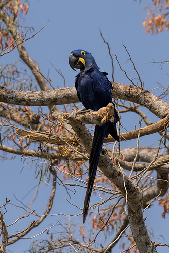 Pantanal: Hyacinth Macaw 1