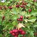 UK - Hertfordshire - Near Rickmansworth - Red berries in Chess Valley